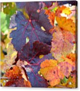 Vineyard In Autumn Acrylic Print