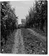 vineyard of old BW Acrylic Print
