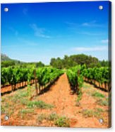 Vineyard Rows Acrylic Print