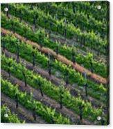 Vineyard Rows - Slovenia Acrylic Print
