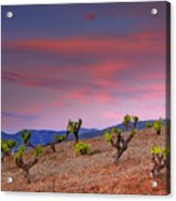 Vineyards At Sunset In Spain Acrylic Print