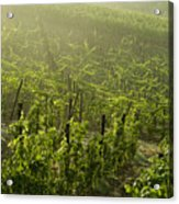 Vineyards Shrouded In Fog Acrylic Print