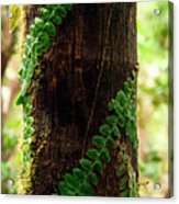 Vining Fern On Sierra Palm Tree Acrylic Print