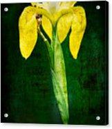 Vintage Canna Lily Acrylic Print