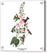 Vintage Columbian Humming Bird Audubon Acrylic Print