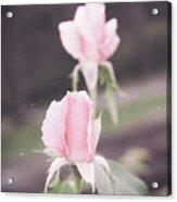 Vintage Double Rose Bud Acrylic Print