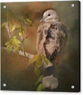Vintage Dove Acrylic Print