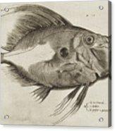 Vintage Fish Print Acrylic Print