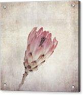 Vintage Protea Flower Acrylic Print