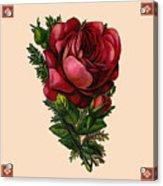 Vintage Red Rose Botanical Acrylic Print