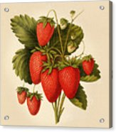 Vintage Strawberries Acrylic Print