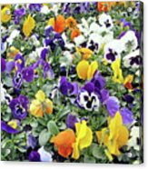 Viola In The Spring Are Especially Beautiful. Acrylic Print