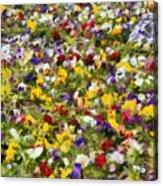 Viola Tricolor Acrylic Print