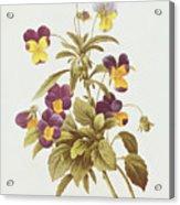 Viola Tricolour  Acrylic Print