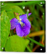 Violet After The Rain  Acrylic Print