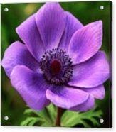 Violet Anemone Acrylic Print
