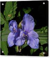 Violet Blooms Acrylic Print