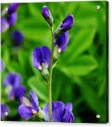 Violet Blue Acrylic Print