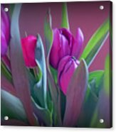 Violet Colored Tulips Acrylic Print
