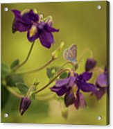 Violet Columbines Acrylic Print