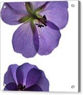 Violet Cranesbill Acrylic Print