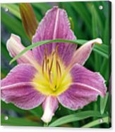 Violet Day Lily Acrylic Print