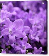 Violet Dream V Acrylic Print