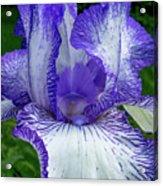Violet Iris Acrylic Print