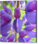 Violet Lupin Acrylic Print