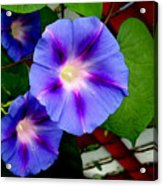 Violet Morning Glories Acrylic Print