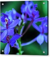 Violet Orchids Acrylic Print