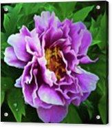 Violet Peony Acrylic Print
