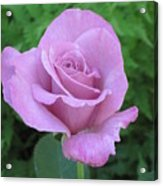 Violet Rose  Acrylic Print