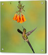 Violet-tailed Sylph Hummingbird Acrylic Print