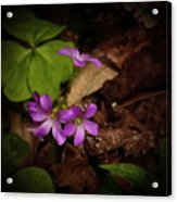 Violet Wood Sorrel Acrylic Print