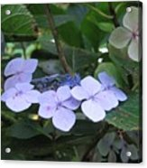 Violets O The Green Acrylic Print