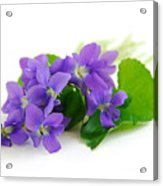 Violets On White Background Acrylic Print