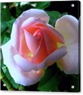 Virgin Pink Rose With Thorns Acrylic Print
