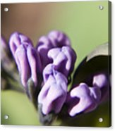 Virginia Bluebell Buds Acrylic Print