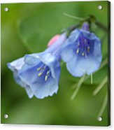 Virginia Bluebells II Acrylic Print