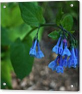 Virginia Bluebells In The Early Morning Acrylic Print