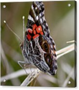 Virginia Lady Butterfly Side View Acrylic Print