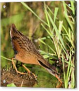 Virginia Rail Acrylic Print