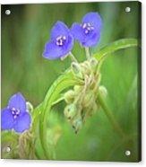 Virginia Spiderwort Acrylic Print