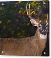 Virginian White Tail Buck Acrylic Print