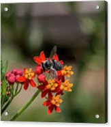 Visor Wearing Bee Pollinates A Colorful Flower Acrylic Print