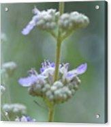 Vitex Cannabinifolia Acrylic Print