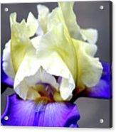 Vivid Iris 6622 H_3 Acrylic Print