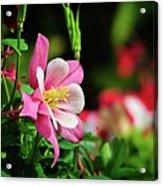 Vivid Pink Columbine Acrylic Print