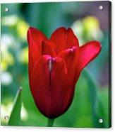 Vivid Red Tulip Acrylic Print